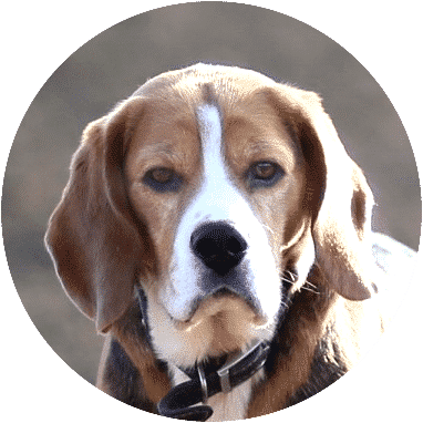 beagle-dogs-and-puppies-for-sale