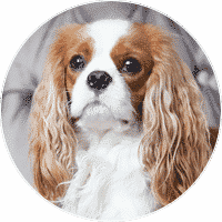cavalier-king-charles-spaniel-dogs-and-puppies-for-sale