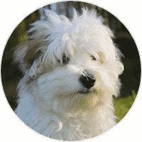 coton-de-tulear-dogs-and-puppies-for-sale