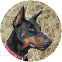 dobermann-dogs-and-puppies-for-sale