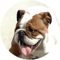 english-bulldog-dogs-and-puppies-for-sale