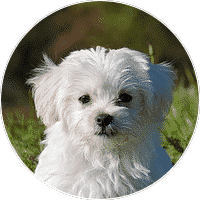 maltese-dogs-and-puppies-for-sale