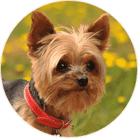yorkshire_terrier_dogs-and-puppies-for-sale