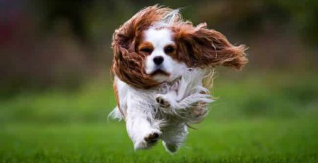 Cavalier King Charles Spaniel   New Doggy