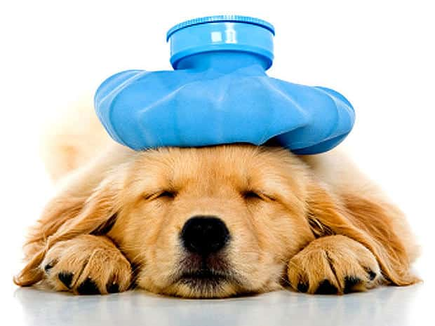 Dog Heat Stroke Prevention and Treatment   New Doggy