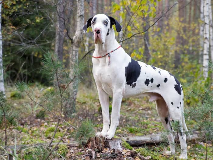 Great Dane - Popular Dogs of Dubai