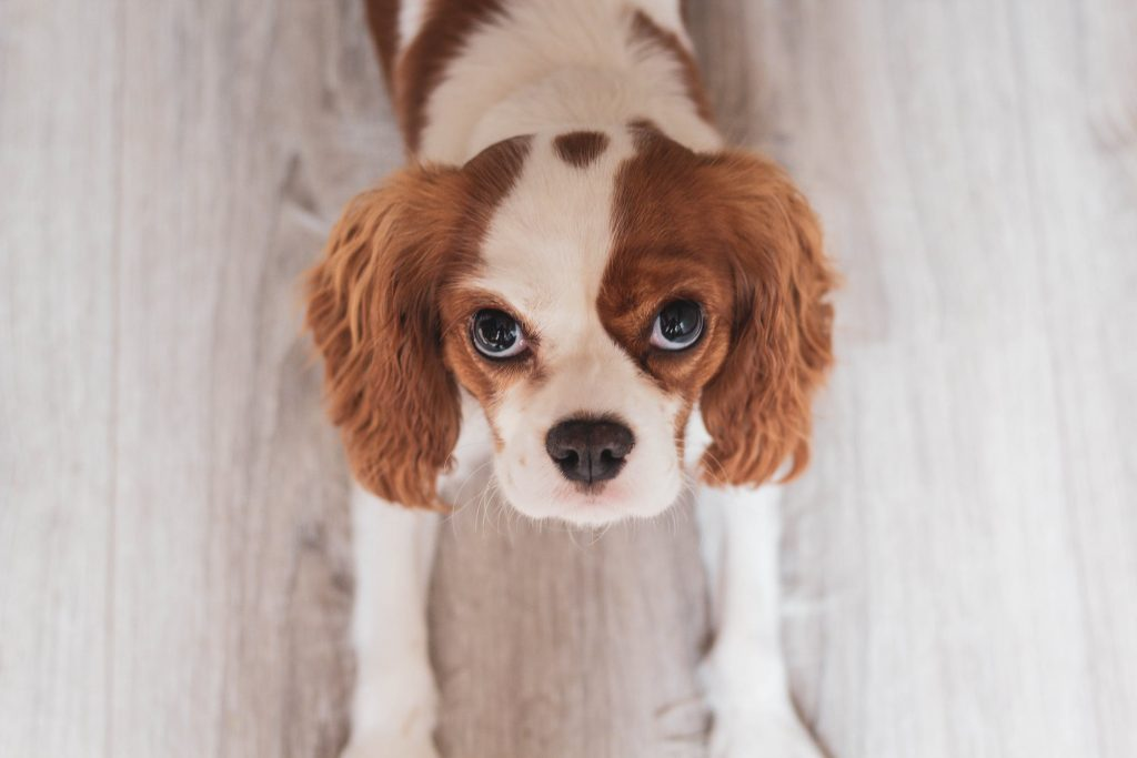 Cavalier King Charles Spaniel breed info NewDoggy.com