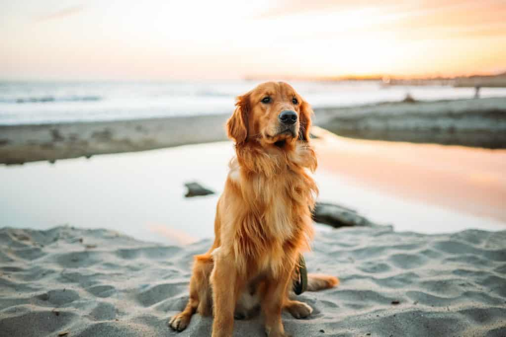 Golden Retriever breed info NewDoggy.com