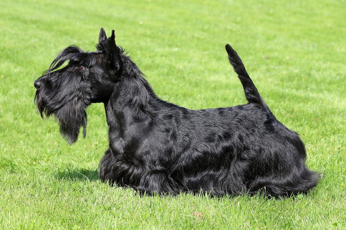 scottish-terrier-best-dogs-for-children