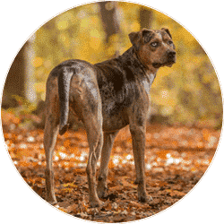 louisiana-catahoula-leopard-dog
