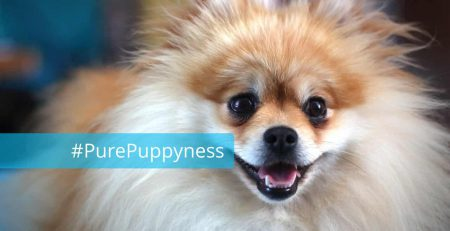 History of the German Spitz