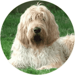 otterhound-your