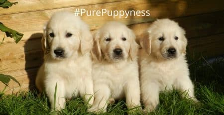 What does it mean for a dog to be purebred