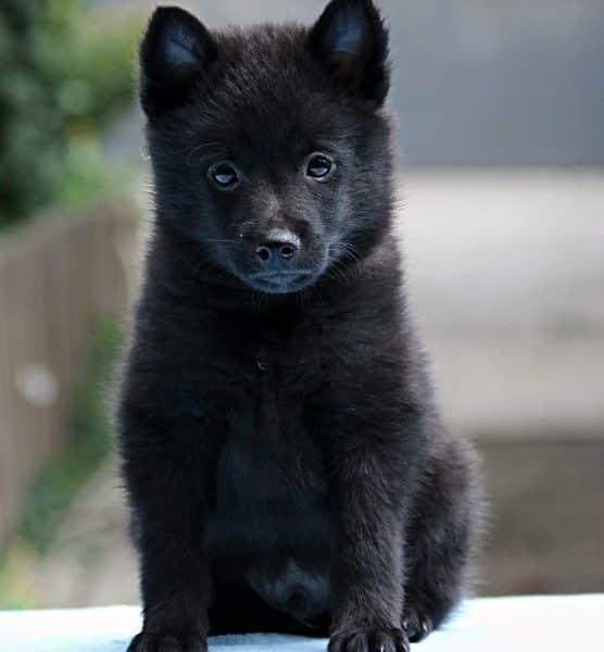 Kush Purebred Healthy Schipperke Puppy For Sale Newdoggycom