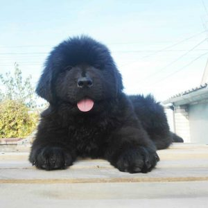 Newfoundland Dogs And Puppies For Sale Newdoggycom