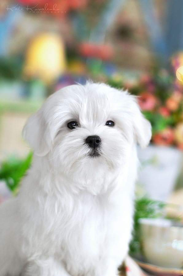 Lord   Purebred, healthy Maltese puppy for sale   NewDoggy.com
