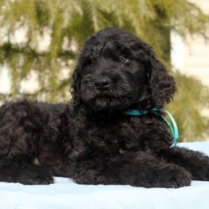 Amade Black Russian Terrier