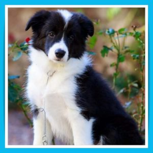 batch_АRed-female-border-collie-puppy-for-sale
