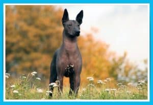 batch_The Most Beautiful Dog Breeds - Mexican Hairless Dog