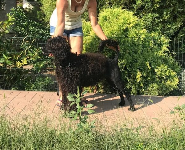 Amos-male-portuguese-water-dog-puppy-for-sale01