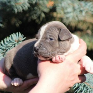 Aliz American Staffordshire Terrier