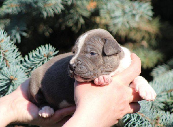 Aliz-female-american-staffordshire-terrier-puppy-for-sale01