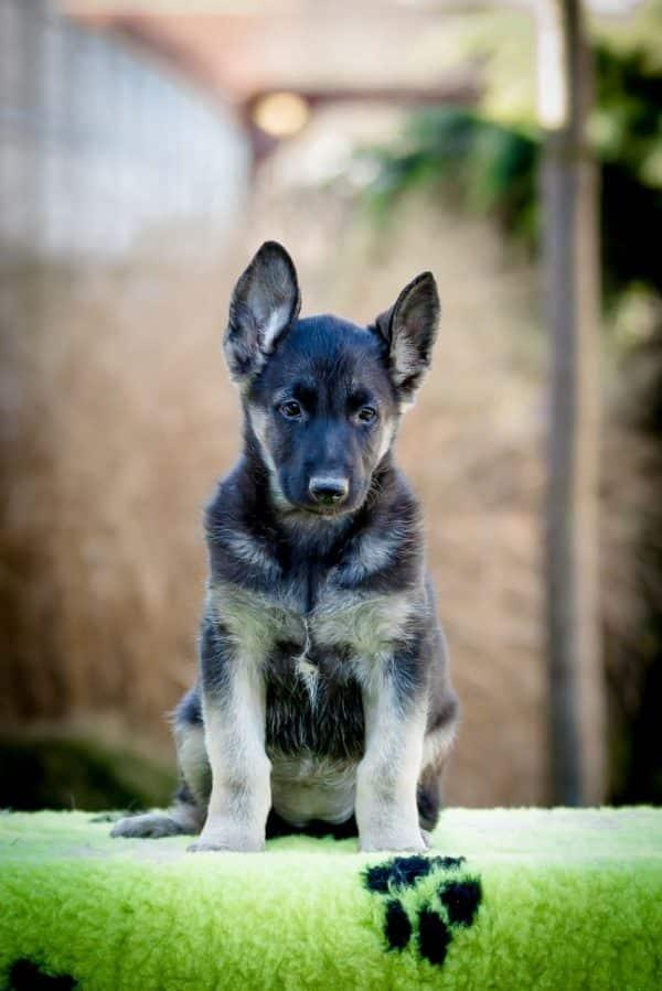 Overton-male-german-shepherd-puppy-for-sale01
