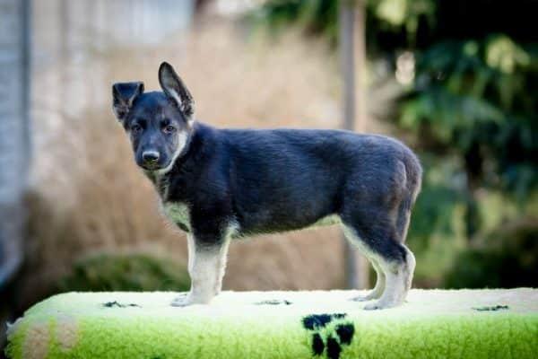 Overton-male-german-shepherd-puppy-for-sale02