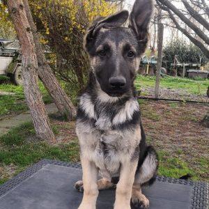 Overton East-European Shepherd