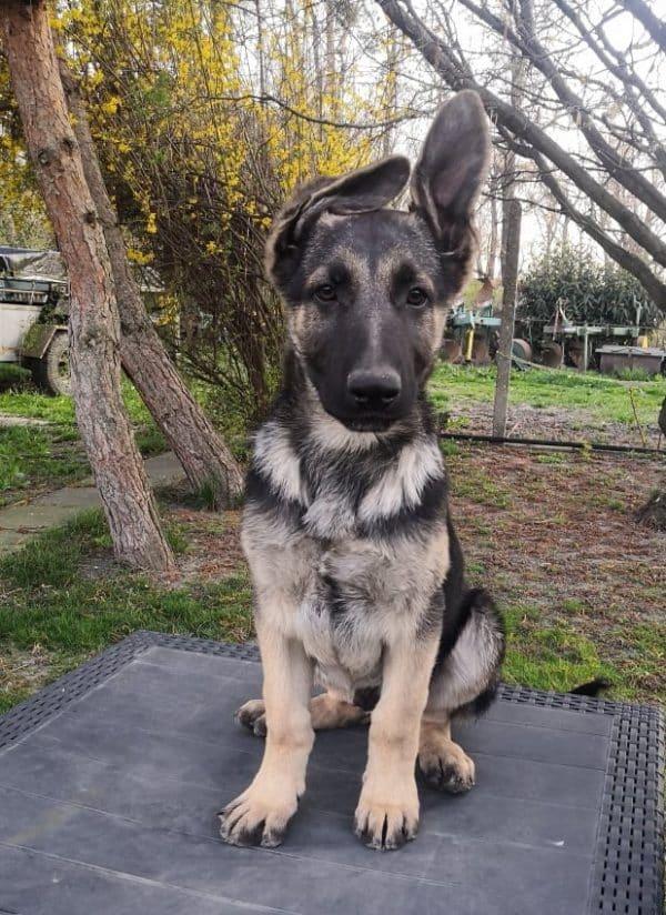 Overton-male-east-european-shepherd-puppy-for-sale-04
