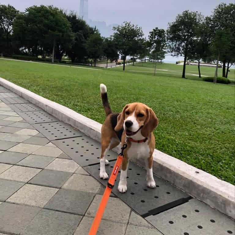 Biski beagle puppy for sale
