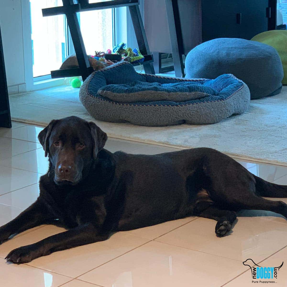 Buddy labrador retriever puppy for sale