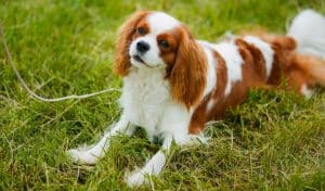 Cavalier King Charles Spaniel- best dog breeds for retired couple