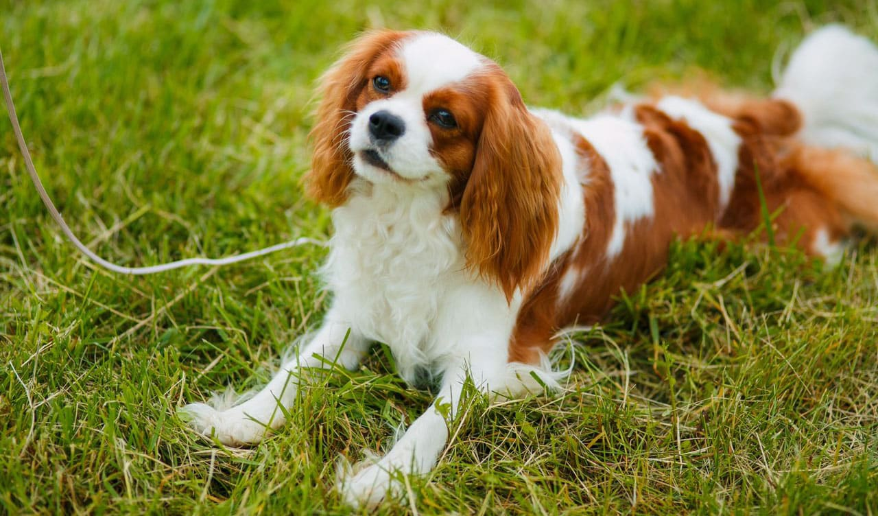 Cavalier King Charles breed info NewDoggy.com
