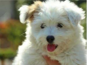 Coton-de-tulear-best-apartment-dog-puppy-for-sale