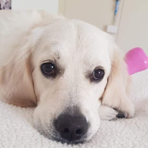 Marnie Golden retriever puppy for sale