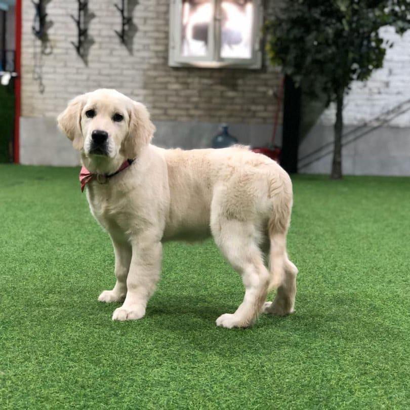 Yogi golden retriever puppy for sale