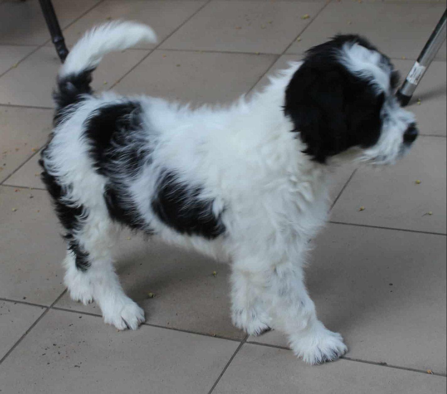 Brittnepoo puppy NewDoggy.com