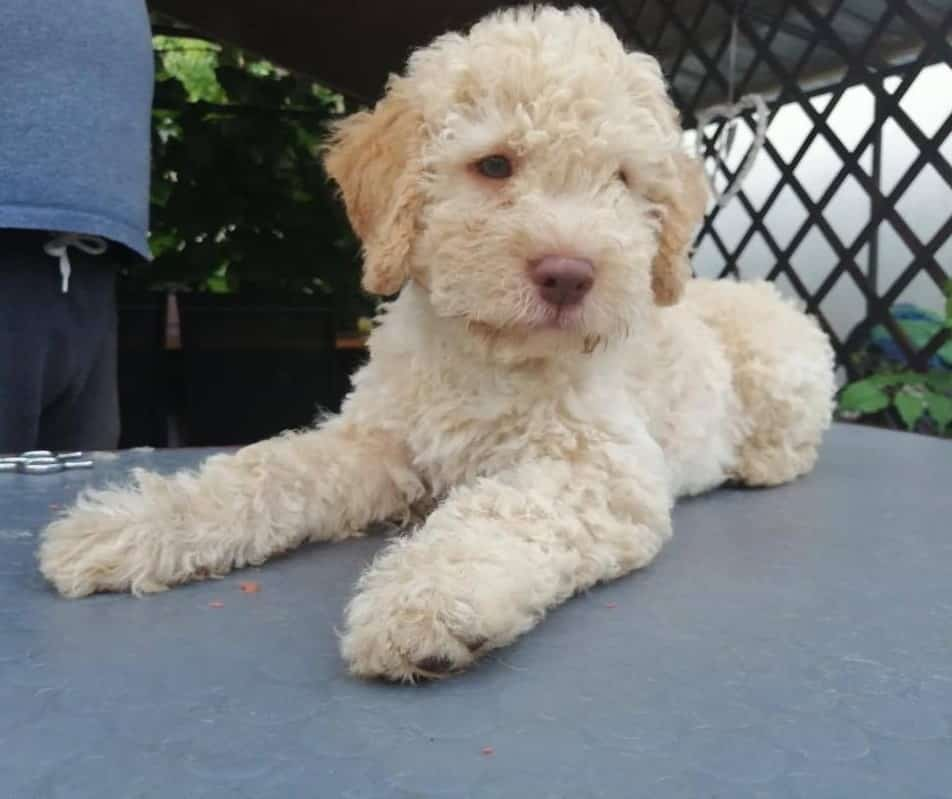 Lagotto Romagnolo breed info NewDoggy.com