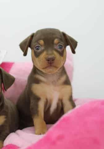 Malin-female-miniature-pinscher-puppy-for-sale02