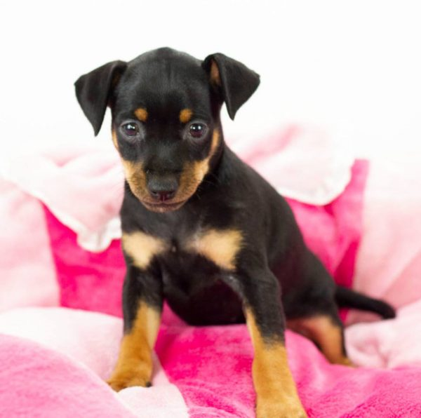 Mina-female-miniature-pinscher-puppy-for-sale01