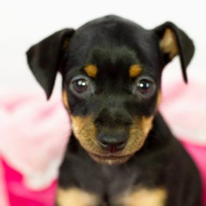 Mina Miniature Pinscher