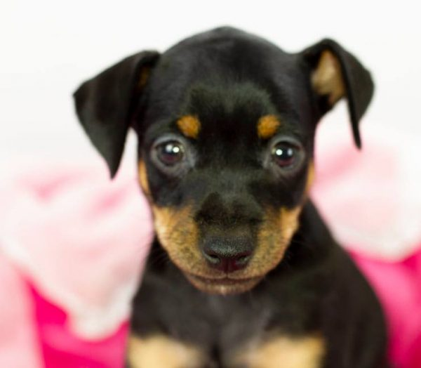 Mina-female-miniature-pinscher-puppy-for-sale02