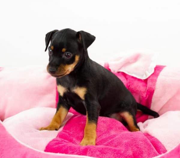 Mina-female-miniature-pinscher-puppy-for-sale03