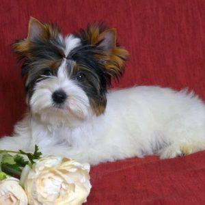 Pinda Biewer Yorkshire Terrier