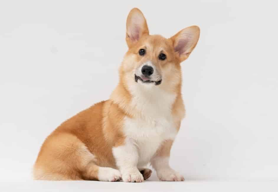 Welsh Corgi Breed info NewDoggy