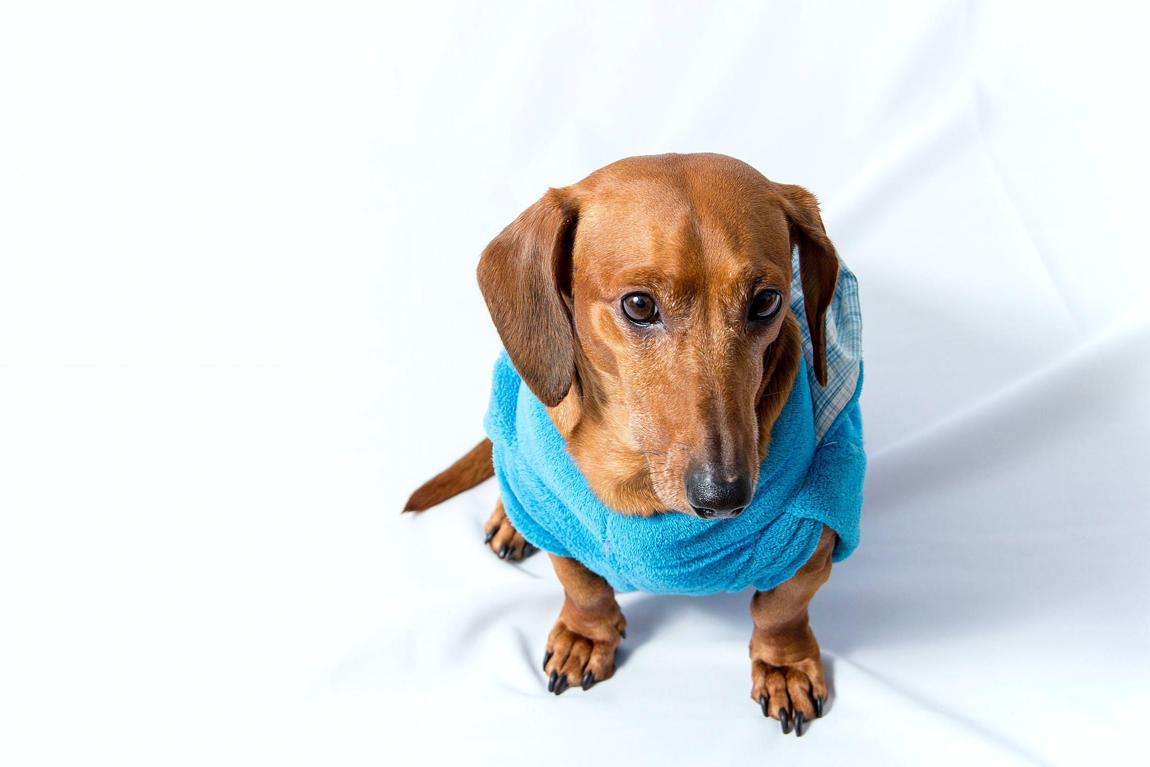 dachshund Newdoggy.com