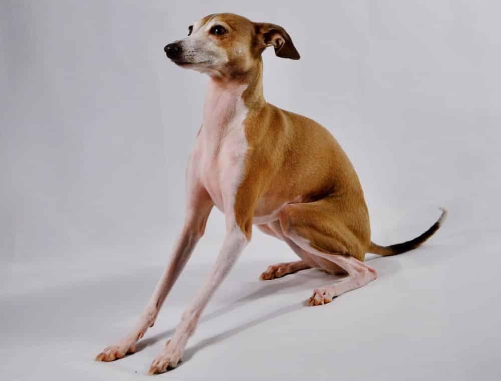Greyhound breed info NewDoggy.com