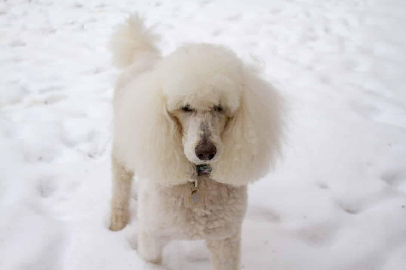 Poodle breed info Newdoggy.com