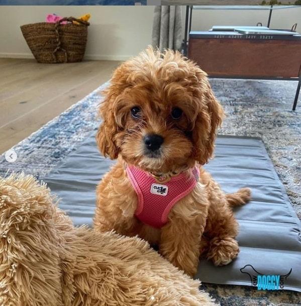 Rubina Toy Poodle sold Newdoggy